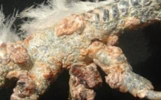 Кнемидокоптоз опасен ли для человека, известковая нога у кур лечение