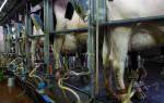 Как повысить надой молока у коровы — повышение удоев у коров