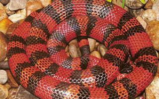 Синалойская молочная змея содержание – как часто кормить змею?