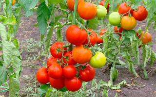 Штамбовые сорта помидор для открытого грунта, томат антошка