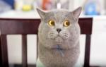 Кот долгожитель 38 лет фото, самые долгоживущие породы кошек