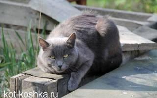 Какая порода кошек самая ласковая и ручная, кошка нежная