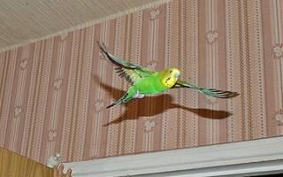 Как поймать попугая в комнате не приученного?