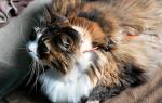 Лечение панкреатита у кошек в домашних условиях – поджелудочная железа у кота