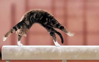 Как научить кошку трюкам?