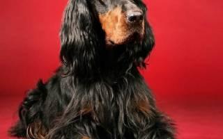 Порода собак гордон – сеттер черный