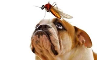 Дирофиляриоз у собак симптомы и лечение