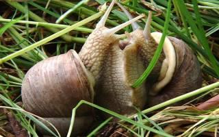 Как размножаются улитки ахатины в домашних условиях — половые органы улиток