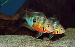 Цихлазома элиота самец и самка – рыба эллиот