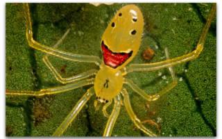 Самые красивые пауки в мире – мизумена косолапая