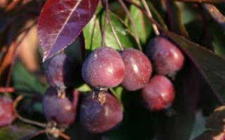 Декоративная яблоня роялти посадка и уход