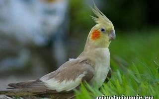 Желтый попугай с красными щеками и хохолком – корелла желтая