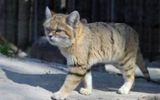 Почему хромает кот на переднюю лапу?