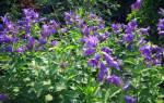 Колокольчик садовый многолетний сорта фото