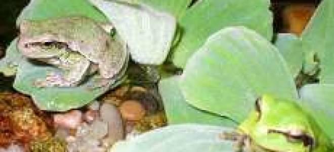 Как ухаживать за лягушкой в домашних условиях – квакша обыкновенная