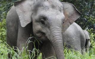 Самый маленький слон в мире