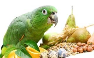 Чем питается попугай фото, киа птица