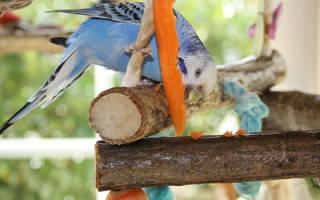 Можно ли волнистым попугаям морковку?