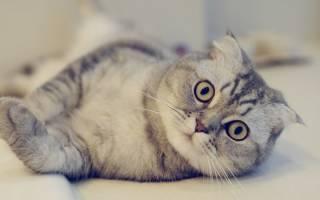 Заворот век у сфинксов фото, энтропион у кошек