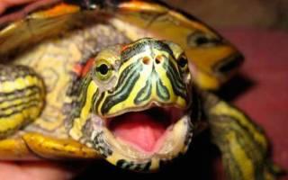 Черепаха открывает рот как будто бы задыхается