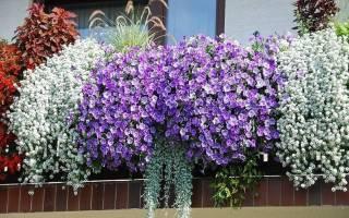 Тунбергия выращивание из семян в домашних условиях
