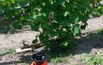 Чем опрыскивать виноград от болезней?