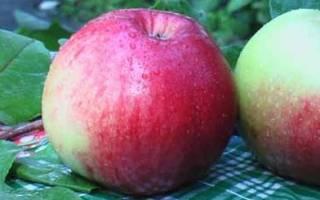 Яблоня ковровое описание сорта фото отзывы
