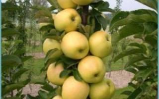 Обрезка колоновидных яблонь осенью для начинающих