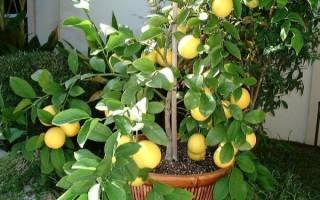 Уход за лимоном мейера в домашних условиях – meyer lemon