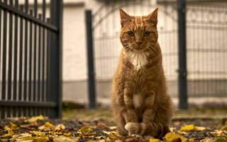 Жирный хвост у кота лечение