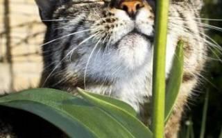 Цестал кэт инструкция по применению, cestal cat