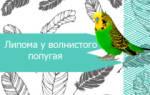 У попугая шишка на животе – опухоль у волнистых попугаев