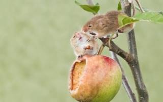Как сохранить яблони от грызунов зимой?