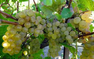 Сорт винограда кристалл фото и описание отзывы