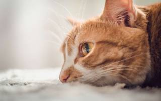 Плачут ли кошки со слезами, заплаканный кот