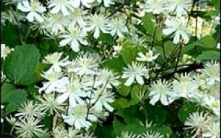 Клематис виноградолистный белый мелкоцветковый: clematis vitalba