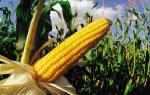 Кукуруза свойства и польза и вред