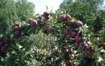 Колоновидная яблоня для сибири отзывы