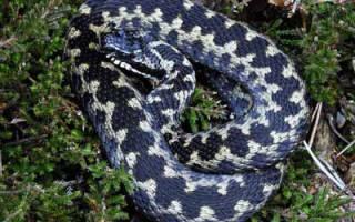 Змеи Смоленской области фото и описание – гадюка в России
