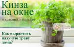 Как выращивать кинзу в домашних условиях – как вырастить кориандр на подоконнике?