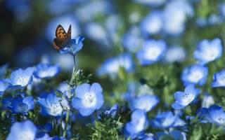 Незабудка лесная полянка выращивание из семян