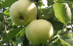 Сорт яблок папировка фото и описание