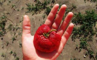 Клубника викода описание сорта фото отзывы садоводов