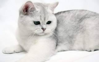 Котята персидской шиншиллы: шиншилловый перс