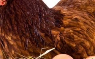 Куры разведение и содержание в домашних условиях – как ухаживать за курицей?