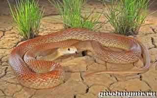 Самая жестокая змея, пустынный тайпан