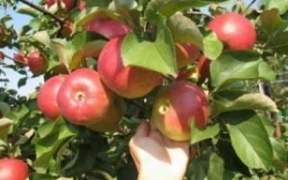 Яблоня корей описание фото отзывы