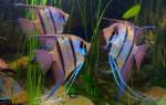 С какими рыбками можно держать скалярий – совместимость скалярии