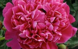 Пион канзас фото и описание отзывы – paeonia kansas