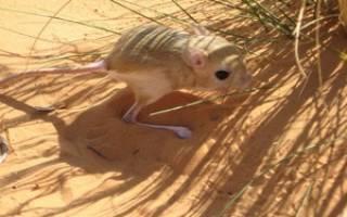 Что ест тушканчик в пустыне?